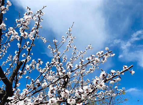 fiori albicocco guarda le foto della stupenda fioritura dell albicocche