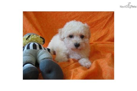 bichon frise puppies for sale in ohio bichon frise puppy for sale near mansfield ohio c63457ab a891