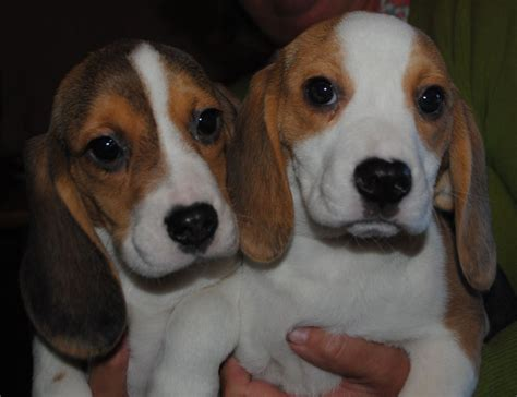 beagle puppies for sale in missouri beagle puppies with breeder breeds picture
