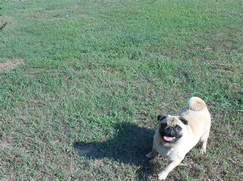 pug puppies atlanta call 678 667 l6l2 call for available pug puppies metro atlanta ga