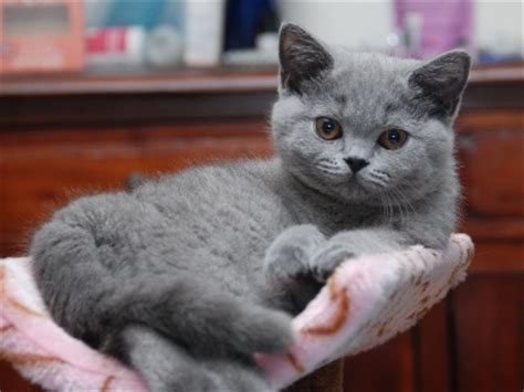 cheap cat vaccinations perth why buy your new kitten from registered breeder