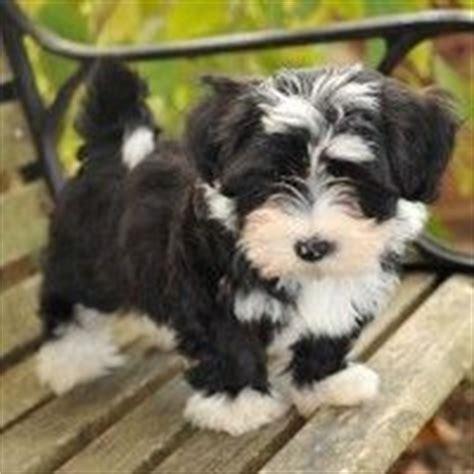 havanese puppies nc best 25 havanese puppies ideas on