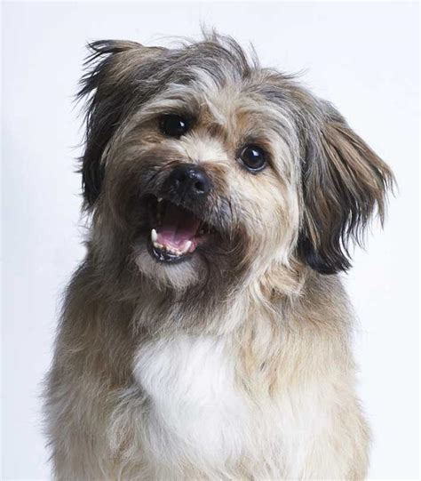 what are the types of dogs sponsor a seamus shih tzu dogs trust