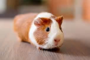 Cute Guinea Pigs Names » Home Design 2017