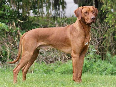 rhodesian ridgeback puppy cost rhodesian ridgeback puppies for sale price list best rhodesian breeders