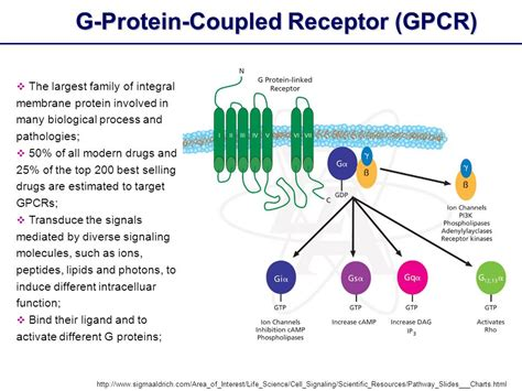 G-Protein-Coupled Receptor (GPCR): Structure and Function ... G Protein Coupled Receptors Gpcrs