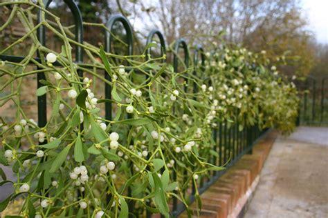 mistletoe passionate plant or poisonous parasite