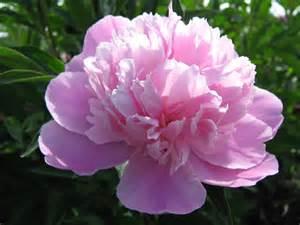 romantic flowers peony flower