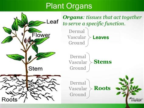 what is a planter plant organs