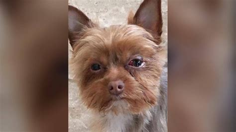 tyree yorkies wants answers after yorkie ends up with black eye busted blood vessel at