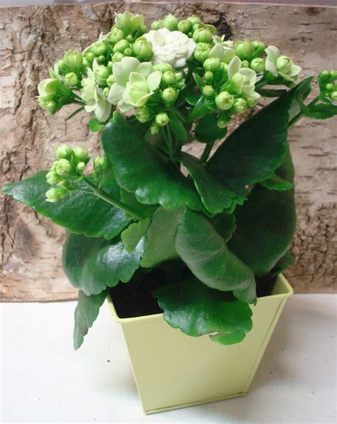 Plante Grasse A Fleur Blanche by Fleuriste Isabelle Feuvrier La Kalancho 233 Calandula