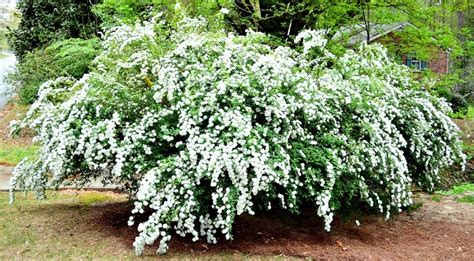 5 must have shrubs with white flowers to extend the life of your garden