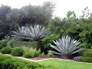 growing agave information on agave plant care