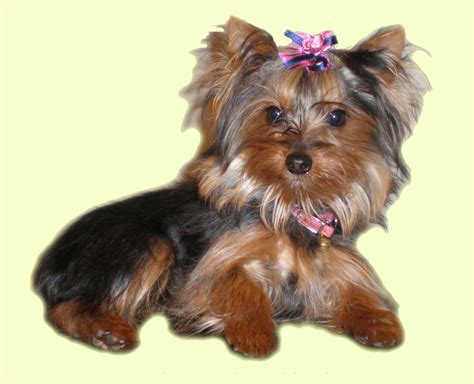 average price for yorkie puppy what is the cost of a terrier dogs in our photo
