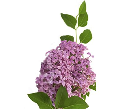 lilac flower meaning lilacs flower meaning symbolism teleflora
