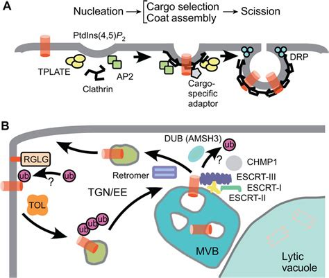 dynamics  plant plasma membrane proteins pins