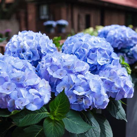 hortensien wann pflanzen hortensie pflanzen hortensien pflanzen wann wohin und wie