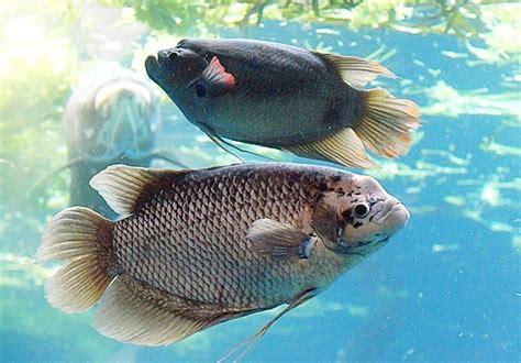 Pakan Ikan cara membuat pakan ikan herbivora hewan id