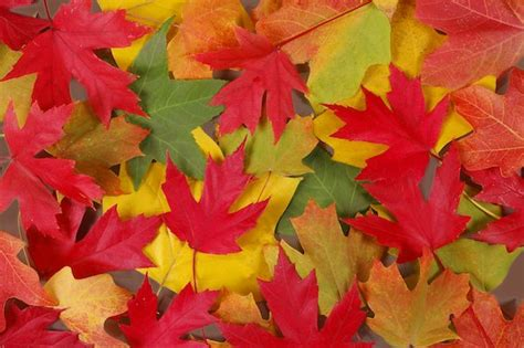 why leaves turn color in the fall the interesting reason why fall leaves turn so many colors