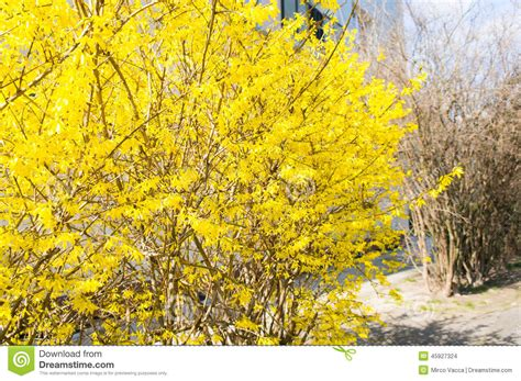 bush with yellow leaves stock photo image of bush tree 45927324