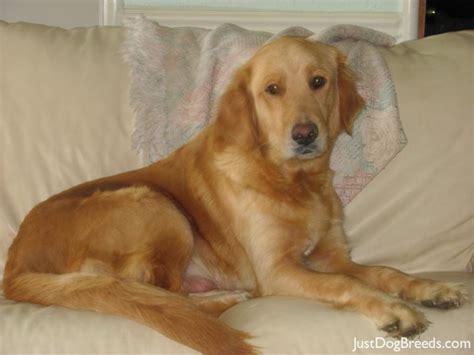 golden retriever large breed golden retriever breeds