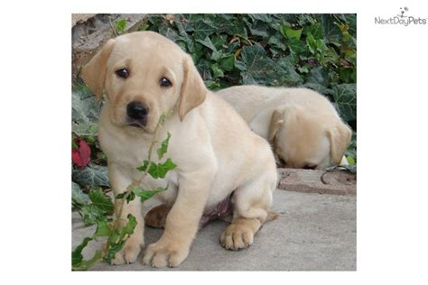 american lab puppies american yellow lab www imgkid the image kid has it