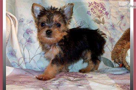 chorkie puppy chorkie puppy for sale near tallahassee florida 3f0d3707 5611