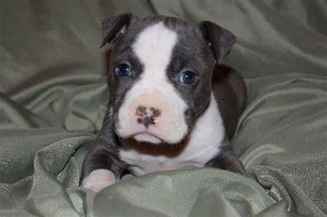 pitbull puppies oregon 1000 ideas about american pitbull puppies on baby pitbulls blue pitbull