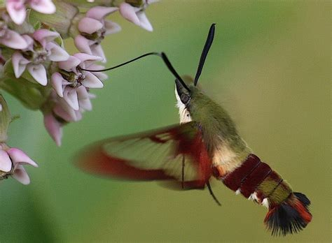 this moth looks like a hummingbird