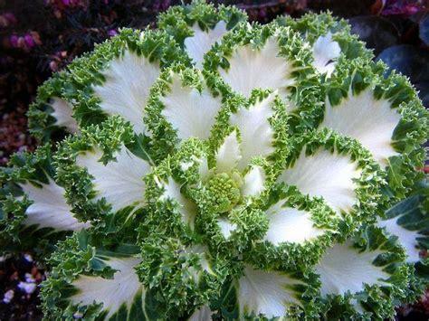 que se siembra en septiembre facilisimocom mejores 37 im 225 genes de minigu 237 as de siembra preciosas flores de coles silvestres plantas