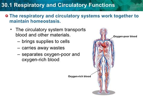 Chapter 30 Powerpoint Circulatory System Powerpoint