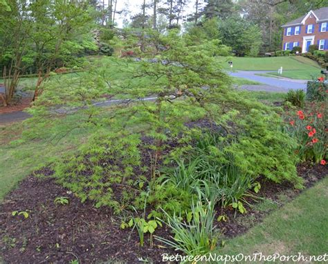 transplanting a maple tree transplanting a waterfall japanese maple