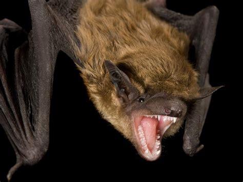 bite rabies detecting rabid bats before they bite