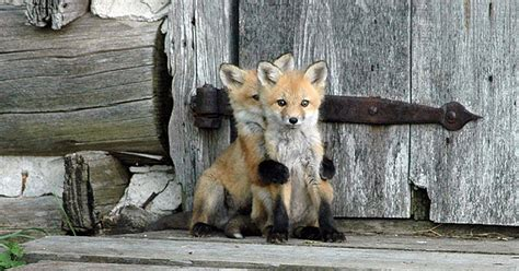 best fox pictures 12 baby foxes that are to be true bored panda
