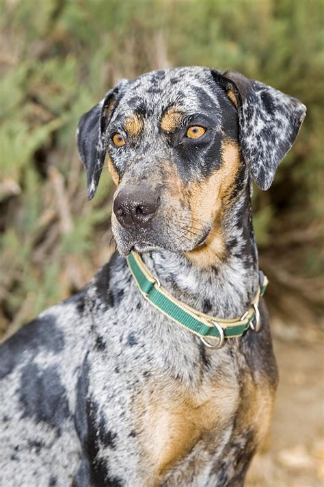 state dogs what is a catahoula leopard and why is it the state ask buddy batiste