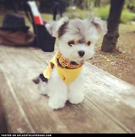half poodle half yorkie half maltese half yorkie cutie breeds picture