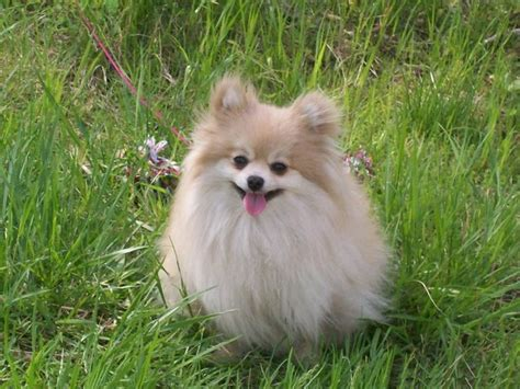 pomeranian dogs names pomeranian pil 249 co names dogs and names