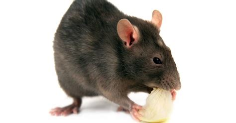 dead rat smell how to get rid of dead rat smell earthkind earthkind