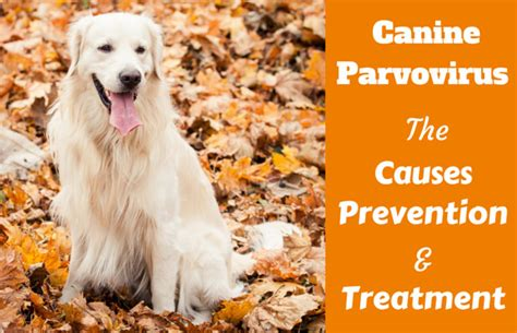 puppy parvo symptoms about parvovirus in dogs info symptoms treatment breeds picture