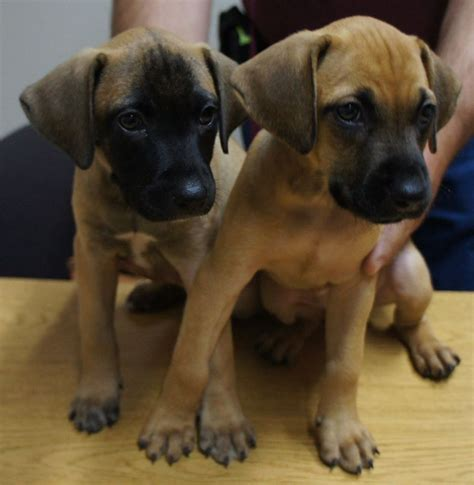 black cur puppies sheriff s office investigating theft of six puppies three found dead chronicle media