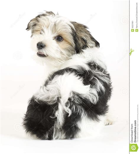 yorkie puppies for sale new york yorkie puppies for sale in new york terrier for breeds picture