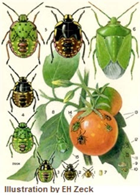 vegetable garden pests list of garden pests common vegetable garden pest list a z