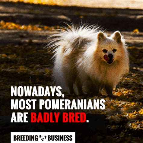 pomeranian mating pomeranians a must read introduction