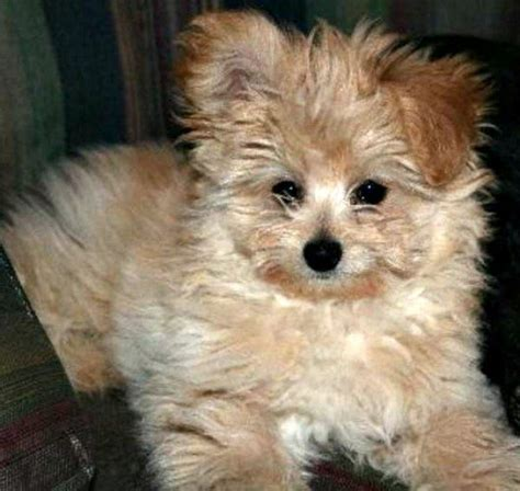 pomeranian poodle puppy mixed breed spotlight pomapoo pomeranian poodle mix featured creature