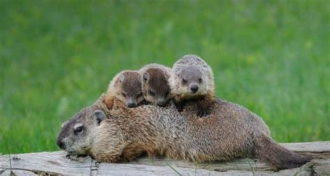 groundhog day quora how to tell the difference between a muskrat or a beaver