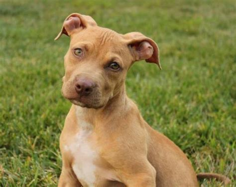 pitbull golden retriever mix 32 puppies looking for st louis homes future expat