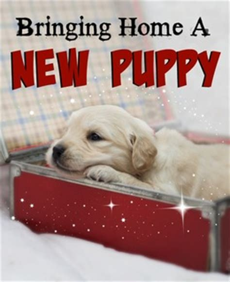 bringing home a new puppy golden retriever