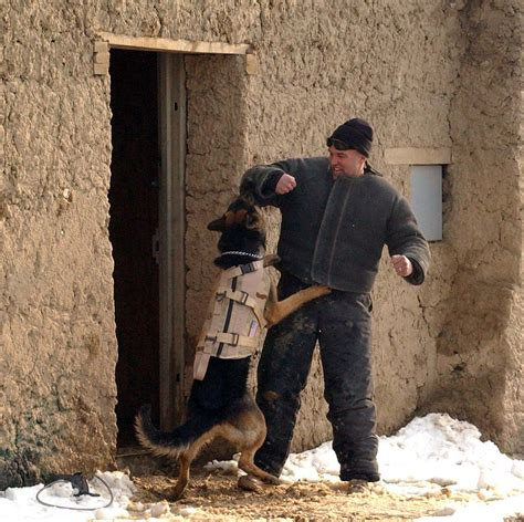puppy in vest working in afghanistan wearing a bulletproof vest being trained hires
