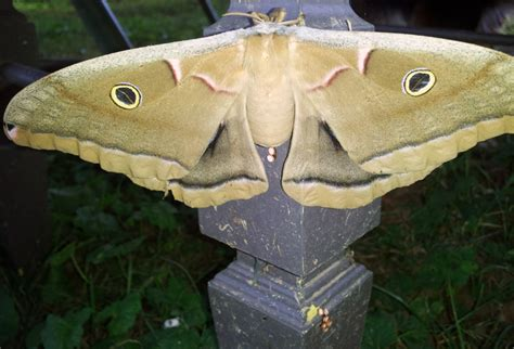 female polyphemus moth lays eggs what s that bug