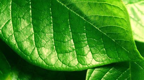 wallpaper of green leaves green leaf wallpaper 11681